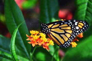 monarque - véloroute des monarques - la cyclonomade