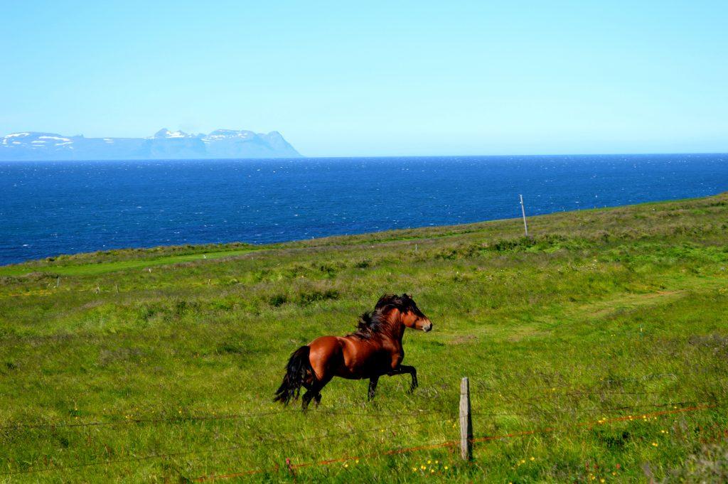 L'Islande en vélo 2013 cheval et mer
