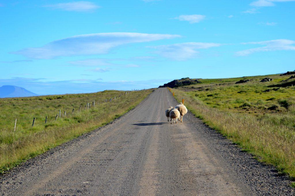 L'Islande en vélo 2013 moutons