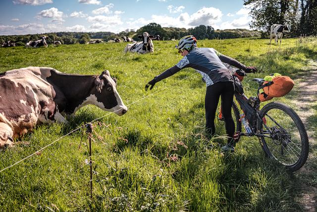 Gravel Tro Breizh vaches bretagne