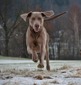 Dog allemand avec les oreilles qui décollent
